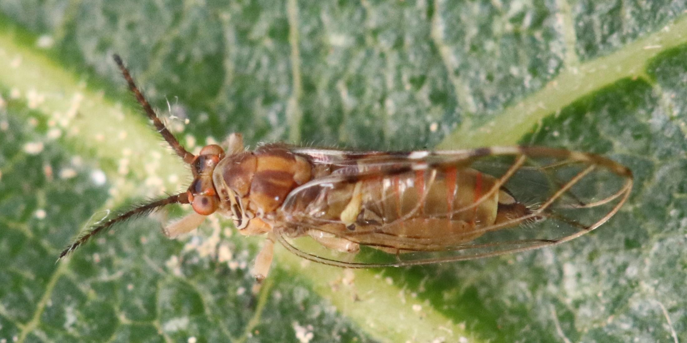Homotoma ficus