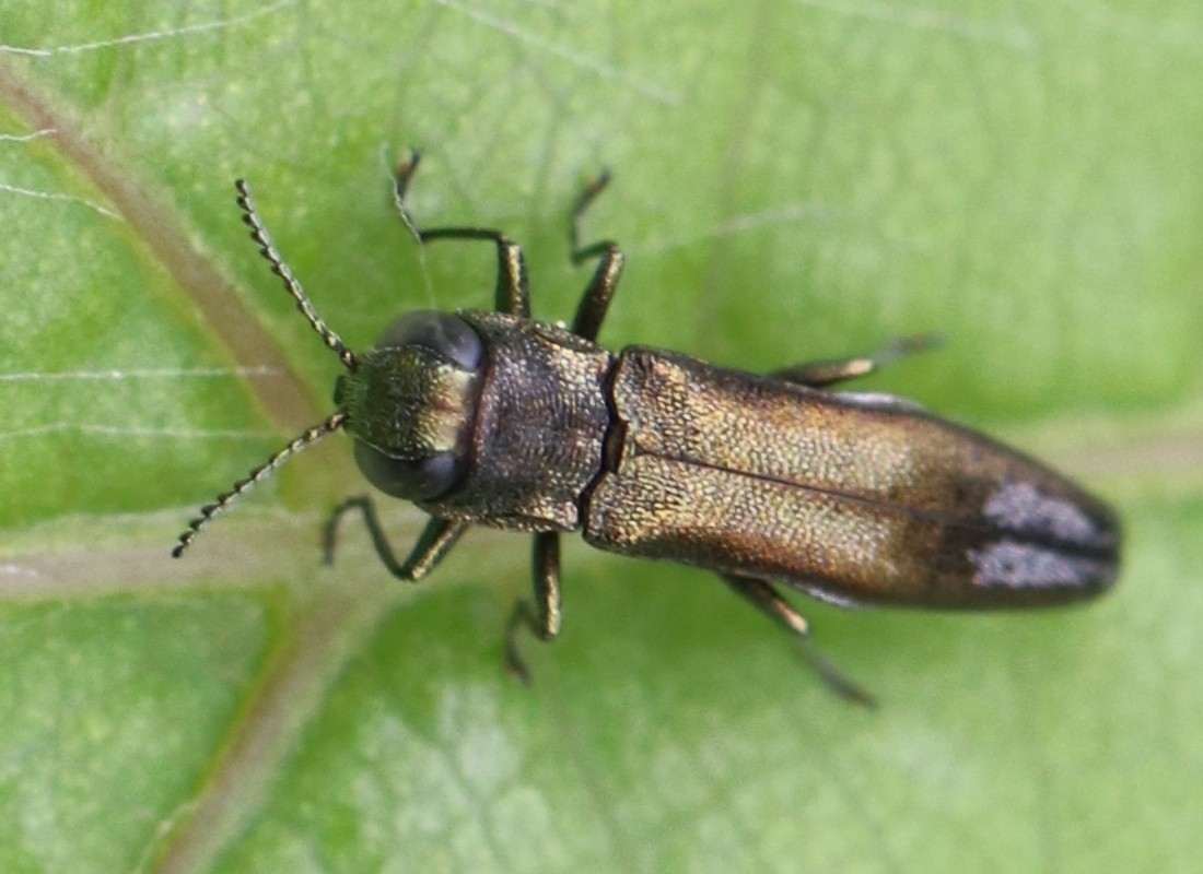 Agrilus derasofasciatus