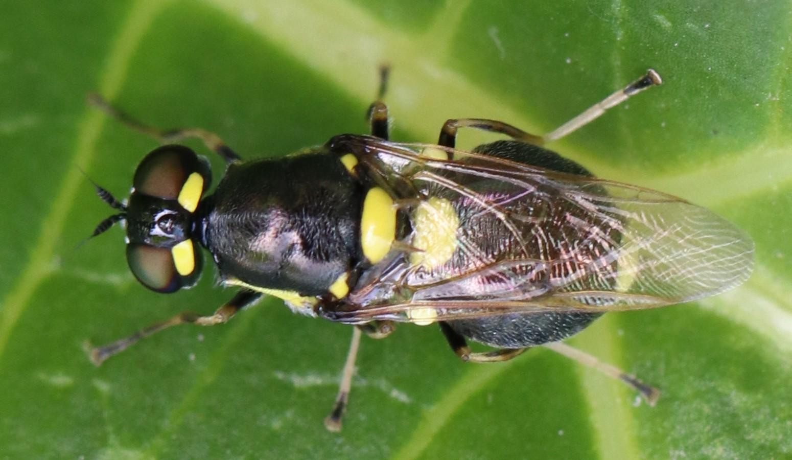 Oxycera leonina