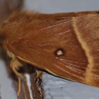 Lasiocampa quercus