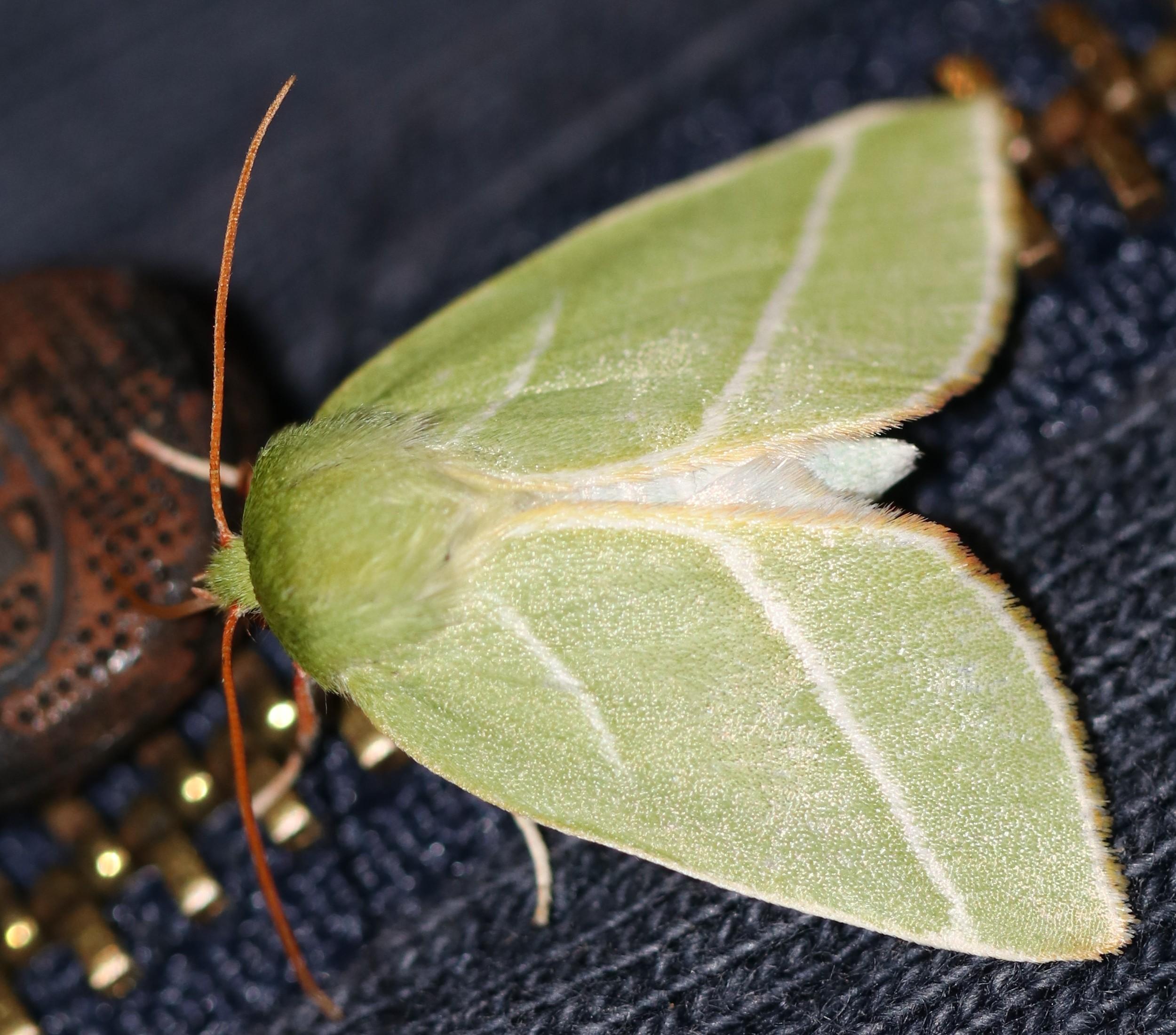 Pseudoips prasinanus
