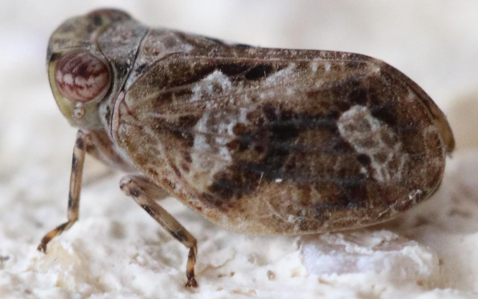 Latilica maculipes