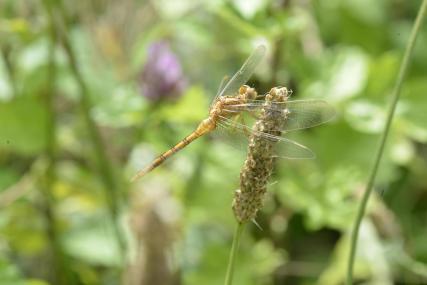 18 sympetrum flaveolum odonata libellulidae etang de gole montcarra 38 14 vii 2020 vue 1