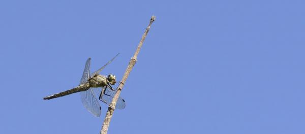 20 sympetrum meridionale odonata libellulidae lac de moras 38 ix 2020 vue 4 recadree