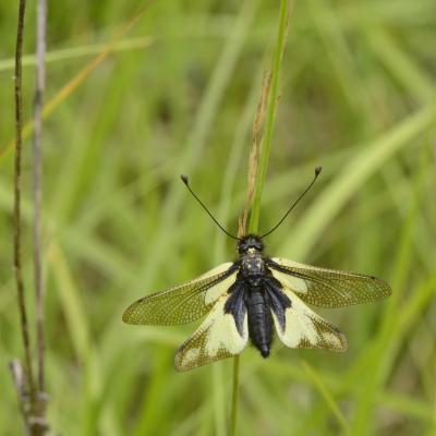 21 libelloides coccajus neuroptera ascalaphidae le manival st ismier 38 v 2020 vue 3 recadree