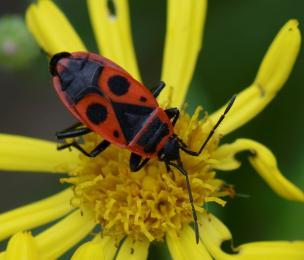 23 pyrrhocoris apterus hemiptera heteroptera pyrrhocoridae le manival st ismier 38 ix 2020 vue 3 recadree