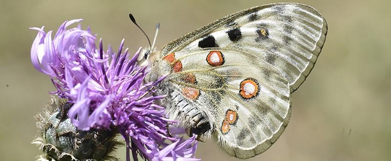 68 parnassius apollo lepidoptera papilionidae vallon de la jarjatte les granges des bois lus la croix haute 26 vue 6