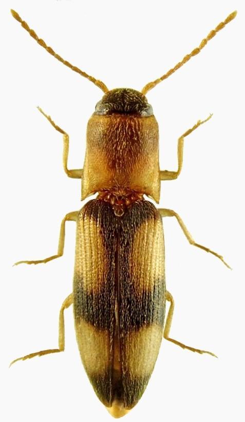 Betarmon bisbimaculatus