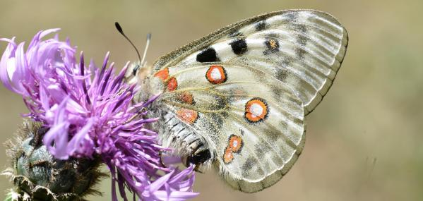 Entete parnassius apollo