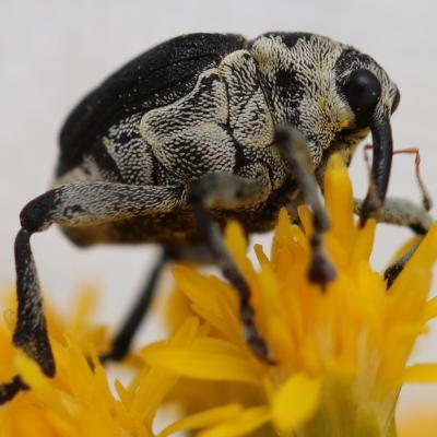 Cucurlionidae Michel Lemasson