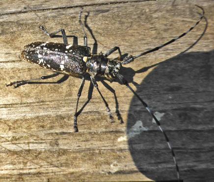 P1130849 monochamus sartor lac du luitel