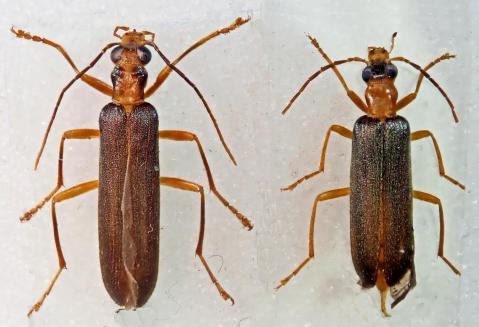 P3010403 nacerdes xanthochroa carniolica gracilis
