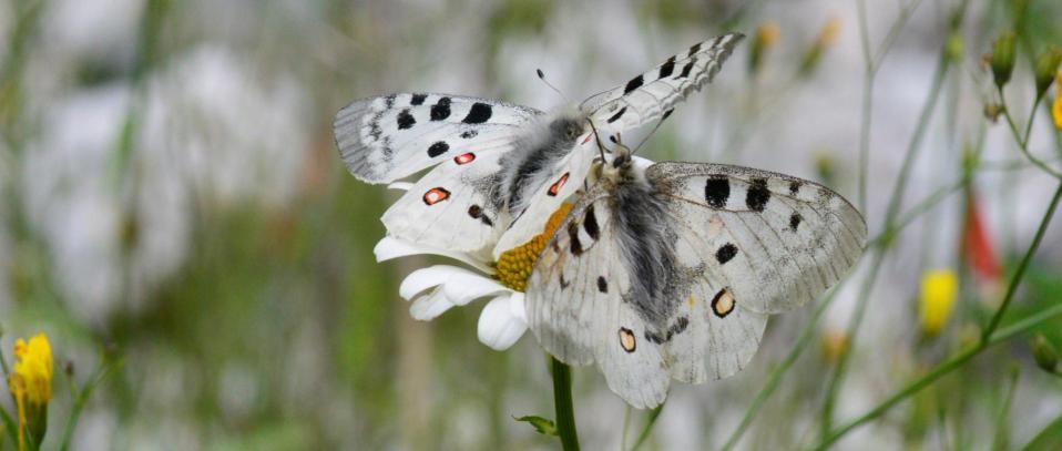 Parnassius apollo lepidoptera papilionidae francois blache cascade des 7 laux val de l eau d olle le rivier d allemont 38