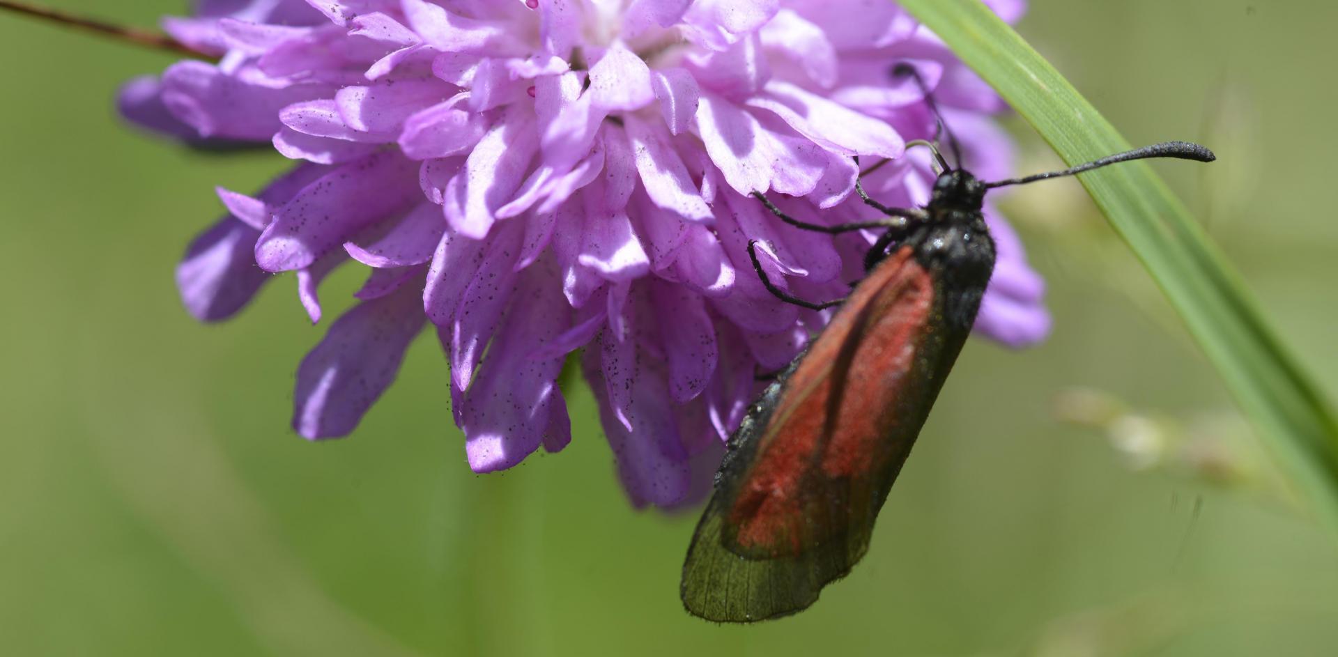 Site zygaena brizae lepidoptera zygaenidae faillefeu prads hte bleone 04 16 vi 2019 recadree