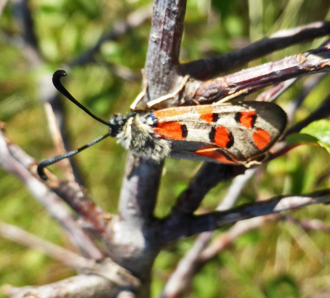 Zygaena rhadamanthus ssp grisea f gerard collomb 1 06 2019 saint etienne fontbellon 07